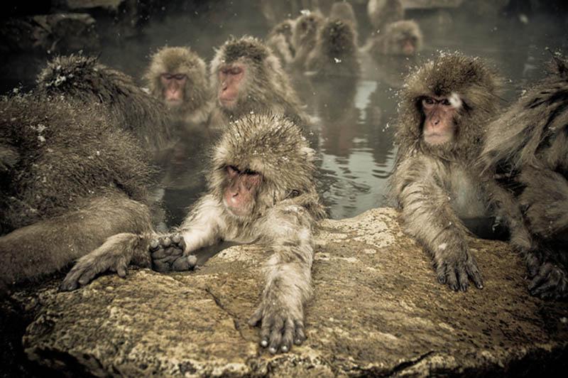 snow monkeys jigokudani hell valley wild monkey park nagano japan 8 Snow Monkeys in Hot Springs of Nagano, Japan