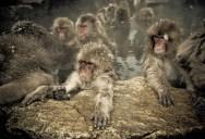 Snow Monkeys in Hot Springs of Nagano, Japan