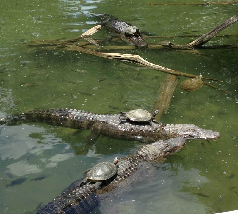 turtles riding sitting on top of alligators Picture of the Day: Photo Finish at the Alligator Grand Prix