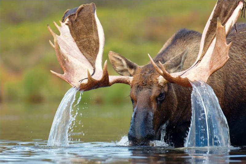 water cascading from a bull mooses antlers Picture of the Day: Water Cascading from a Mooses Antlers