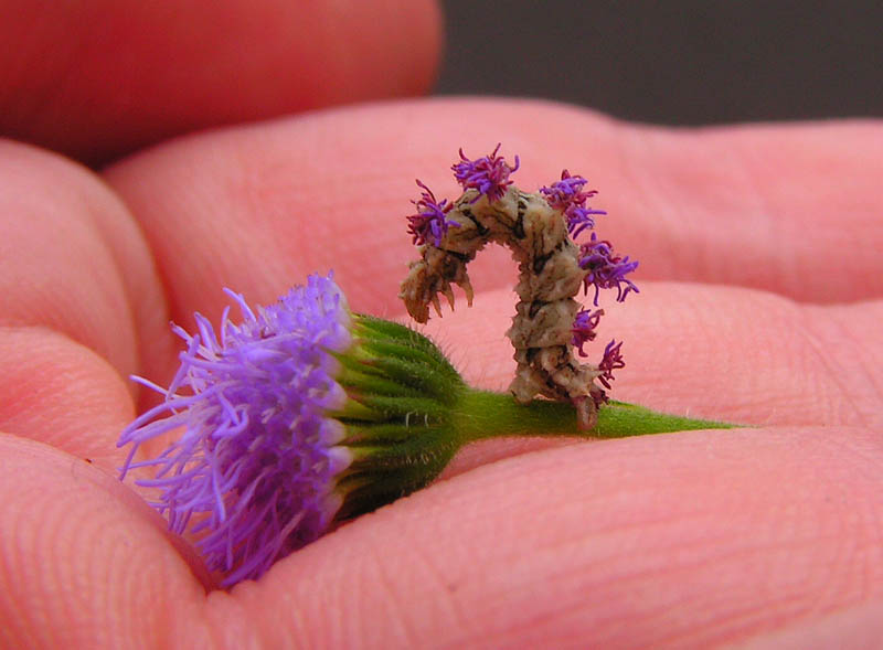 wavy lined emerald moth camouflaged looper caterpillar with flowers on back 2 The Ornate Protective Cases of Caddisfly Larvae