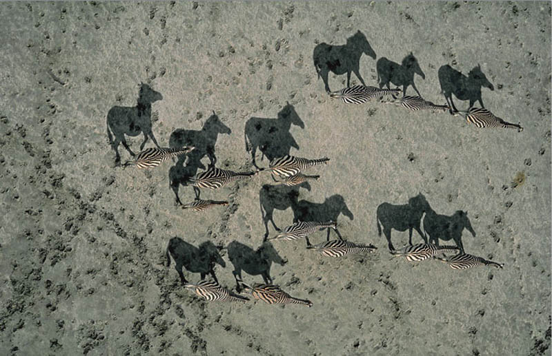 zebra shadows aerial from above national geographic Mind Blowing Shadow Art by Kumi Yamashita