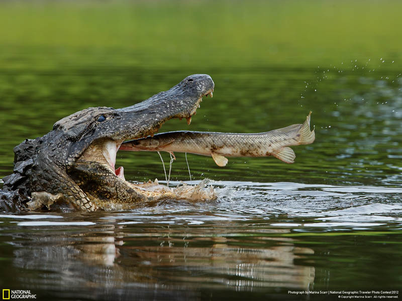 american alligator about to eat a florida gar fish perfectly timed shot before fish is eaten