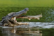 Picture of the Day: See You Later Said the Alligator