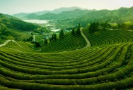 Picture of the Day: The Tea Fields of Boseong, Korea