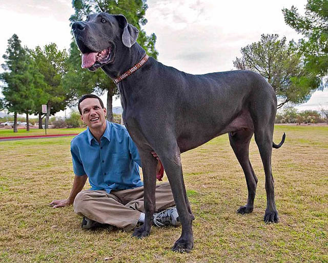 giant george the tallest dog in the world 1 Giant George   The Tallest Dog in the World