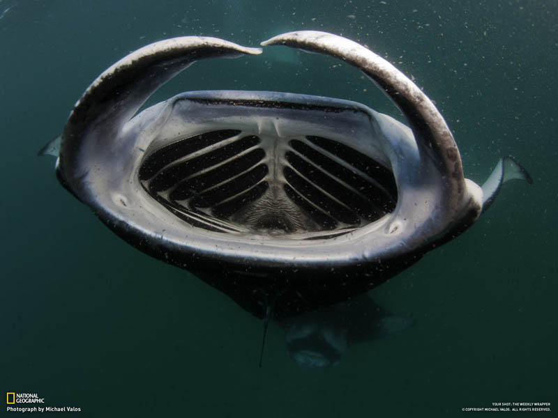 manta ray feeding mouth wide open maldives Picture of the Day: The Mouth of the Manta Ray
