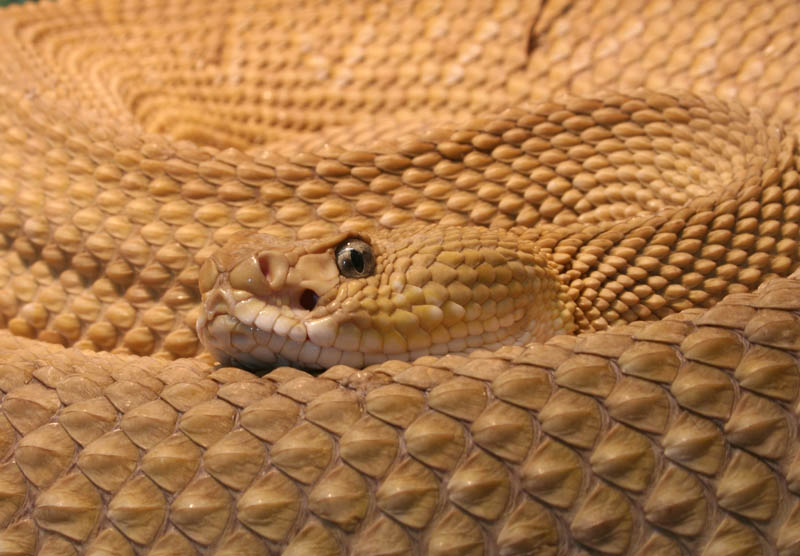 closeup of a coiled up mexican west coast rattlesnake incredible pattern in the snake scales