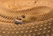 Picture of the Day: The Mexican West Coast Rattlesnake