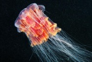 Picture of the Day: The Lion's Mane Jellyfish