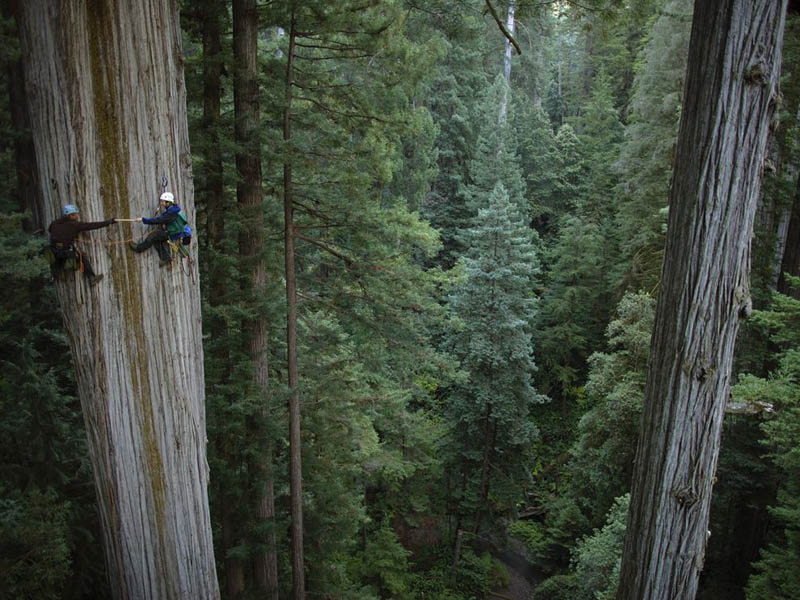 two scientists scale a giant redwood tree