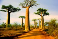 Picture of the Day: Avenue of the Baobabs