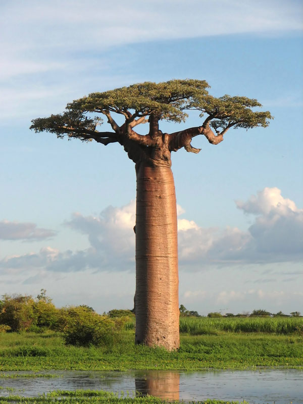 baobab tree near morondava madagascar The 2011 Wikimedia Commons Pictures of the Year