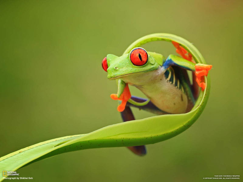 colorful frog on a curled leaf Picture of the Day: This Frog is Fabulous