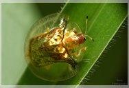 The Beautiful Golden Tortoise Beetle [12 pics]