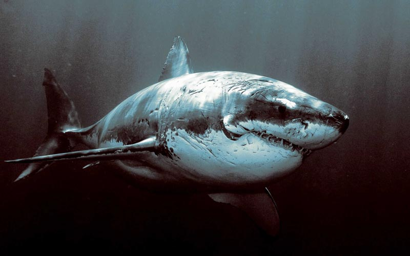 mean looking great white shark with scars and battle wounds