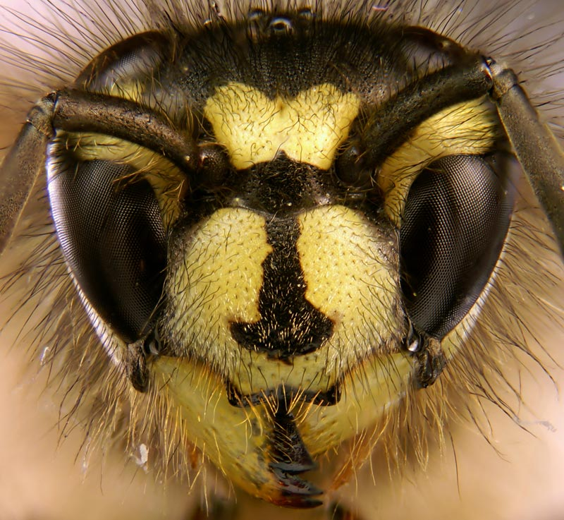 macro close up of wasp head The 2011 Wikimedia Commons Pictures of the Year