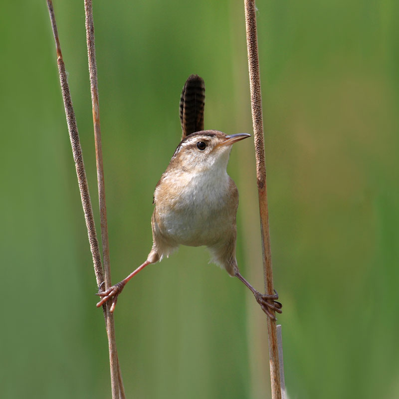 marsh wren in quebec canada The 2011 Wikimedia Commons Pictures of the Year