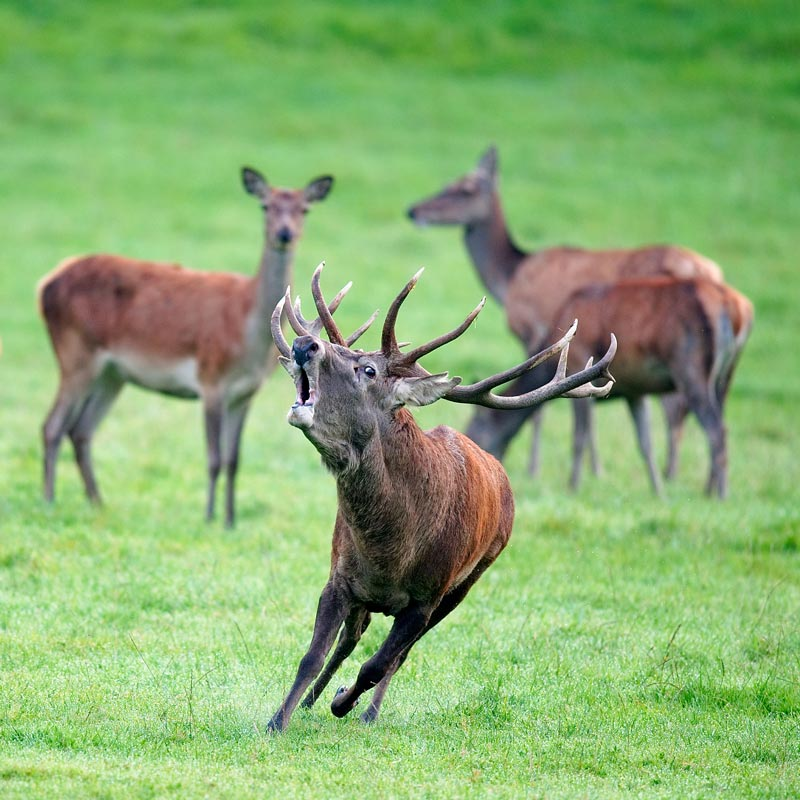red deer in freyr forest near han sur lesse belgium The 2011 Wikimedia Commons Pictures of the Year