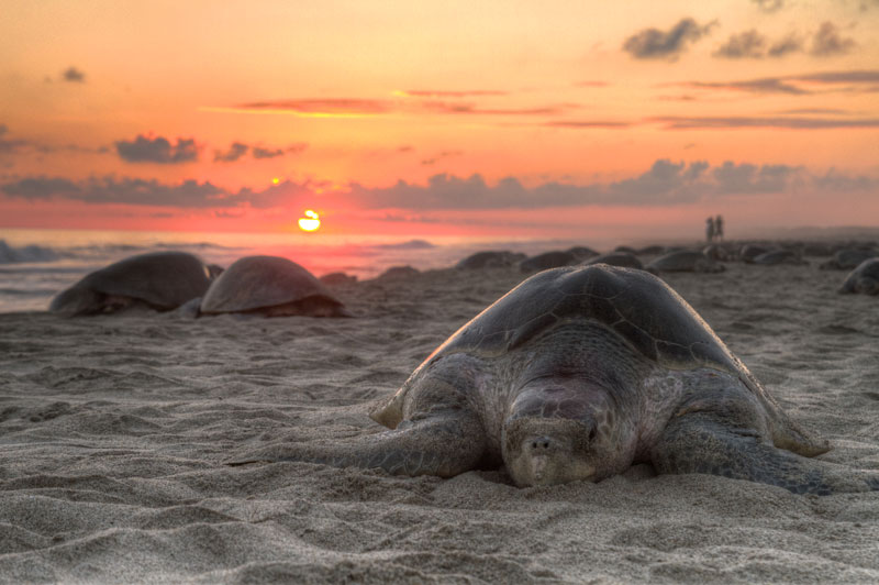 sea turtle resting on boach in oaxaca mexico The 2011 Wikimedia Commons Pictures of the Year