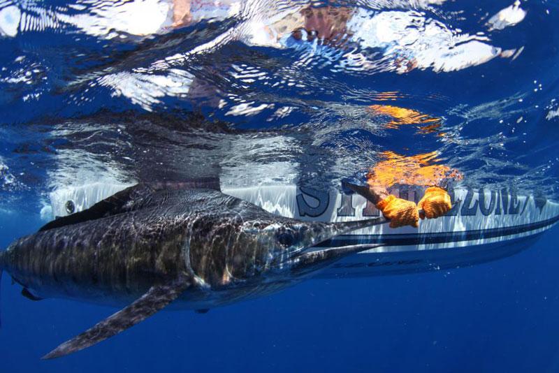 underwater photos of mako shark attacking marlin 1 Rare Underwater Photos of a Shark Attacking a Marlin