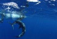 Rare Underwater Photos of a Shark Attacking a Marlin