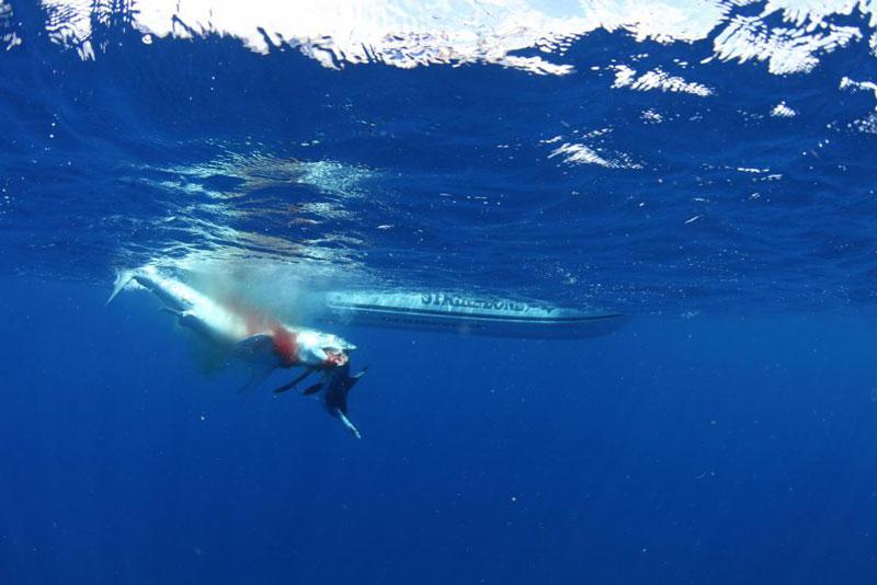 underwater photos of mako shark attacking marlin 5 Rare Underwater Photos of a Shark Attacking a Marlin