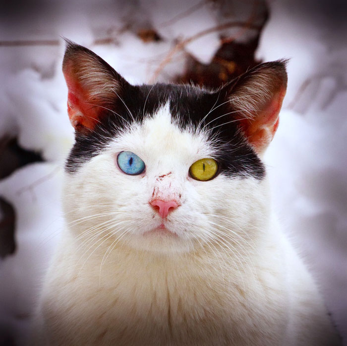 cat with different colored eyes 2 20 Animals with Two Different Colored Eyes