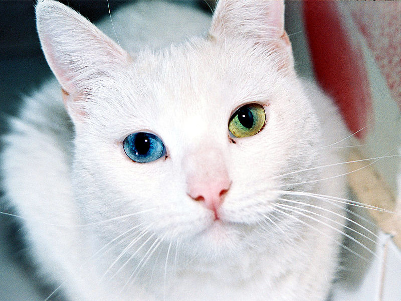 20 Animals with Two Different Colored Eyes
