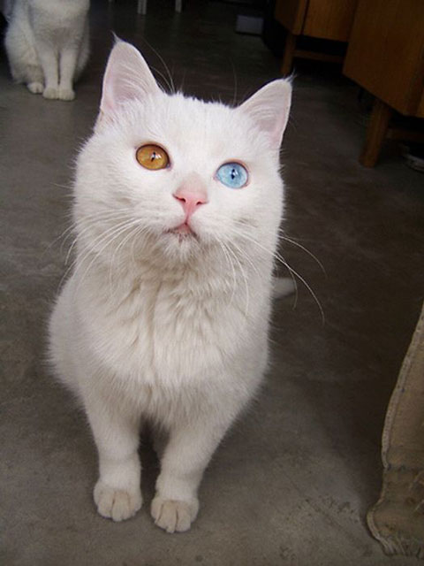 cat with two eyes colors heterochromia The Cutest Cross Eyed Cat Ever [9 pics]