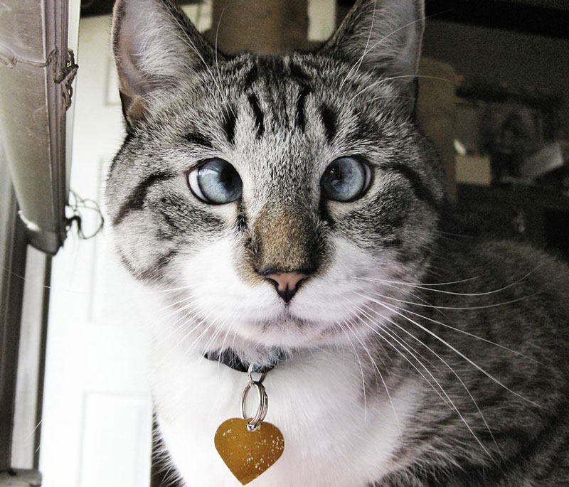 cutest cross eyed cat ever spangles 1 The Cutest Cross Eyed Cat Ever [9 pics]