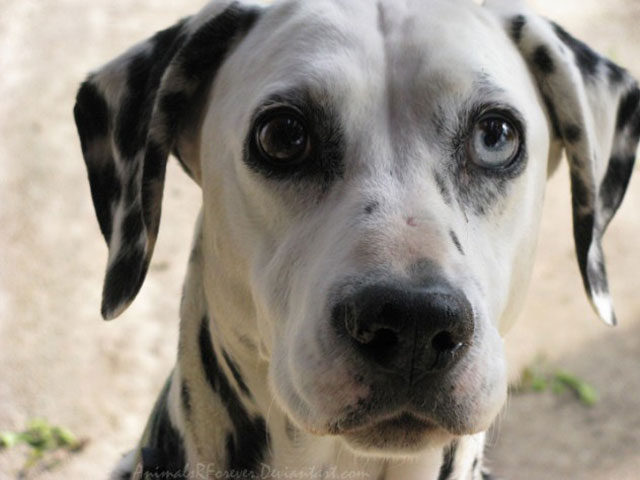 dalmation with different colored eyes heterochromia 20 Animals with Two Different Colored Eyes