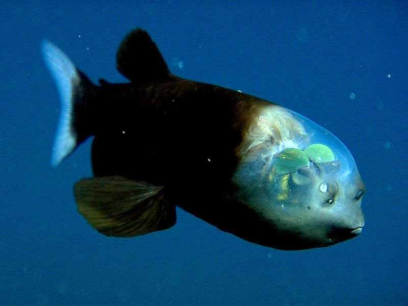fish with transparent head barreleye spook fish 1 Fish Creates Beautiful Sand Art in the Name of Love