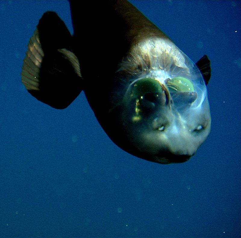 fish with transparent head barreleye spook fish 2 The Fish With the Transparent Head