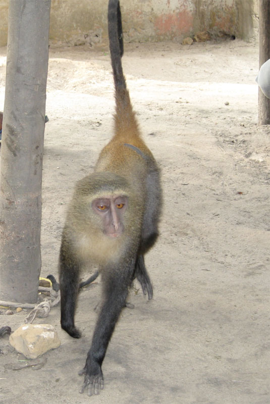 new monkey discovered in congo lesula cercopithecus lomamiensis 2 First New Monkey in 28 Years Discovered in the Congo