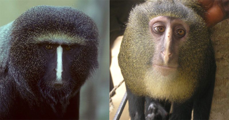 new monkey discovered in congo lesula cercopithecus lomamiensis 3 First New Monkey in 28 Years Discovered in the Congo