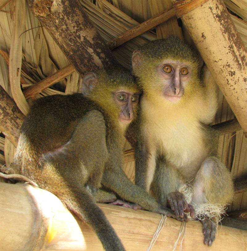new monkey discovered in congo lesula cercopithecus lomamiensis 5 First New Monkey in 28 Years Discovered in the Congo