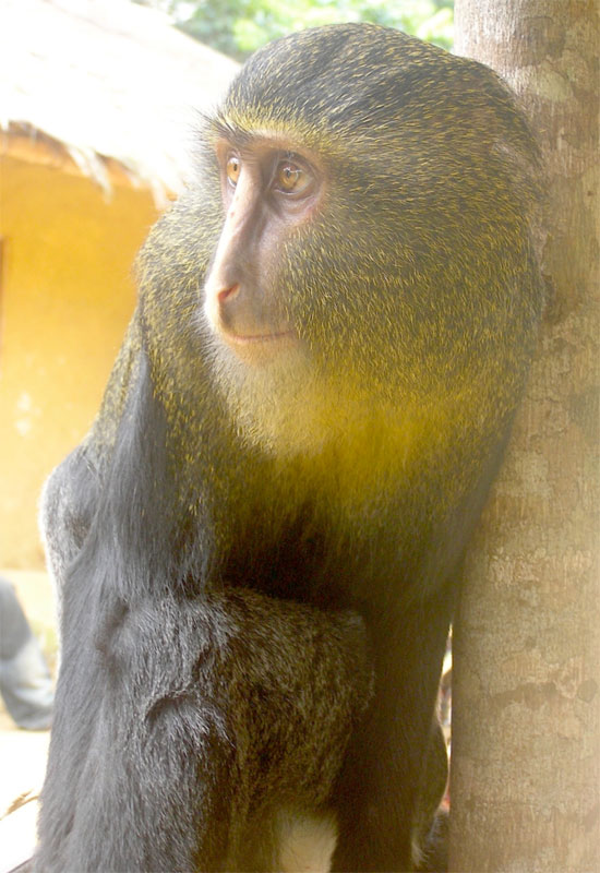new monkey discovered in congo lesula cercopithecus lomamiensis 6 First New Monkey in 28 Years Discovered in the Congo
