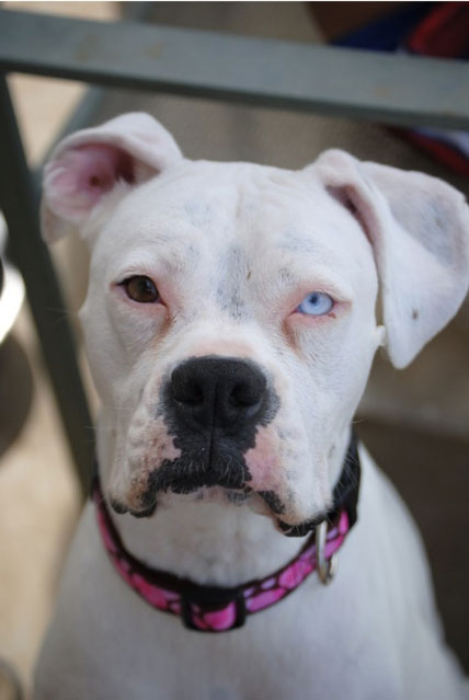 pitbull with different colored eyes heterochromia 20 Animals with Two Different Colored Eyes