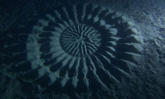 puffer fish creates circular patterns in sand on sea floor to attract females for mating 2 Mystery Bug Builds Fence Around Eggs and Nobody Knows Why