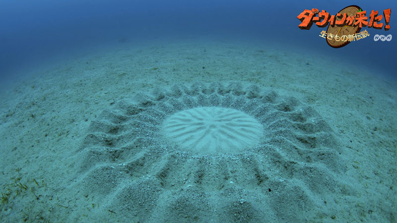 puffer fish creates circular patterns in sand on sea floor to attract females for mating 5 Fish Creates Beautiful Sand Art in the Name of Love