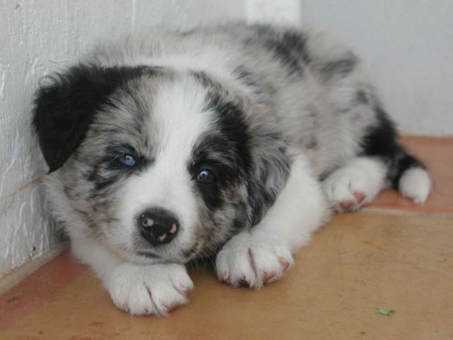 puppy with different colored eyes heterochromia 1 20 Animals with Two Different Colored Eyes