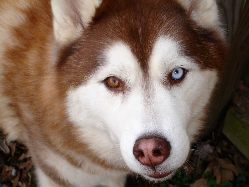 siberian husky with different colored eyes heterochromia 20 Animals with Two Different Colored Eyes