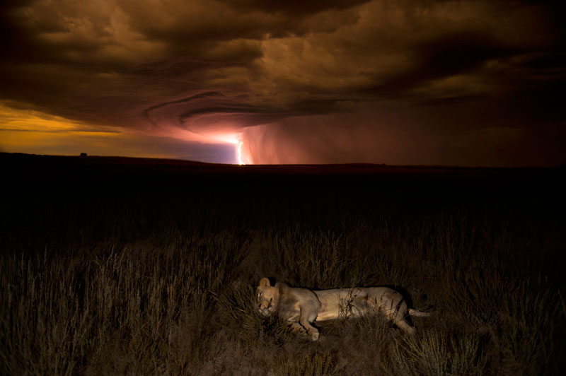 034 hannes lochner south africa lion by lightning Highlights from the 2012 Wildlife Photographer of the Year