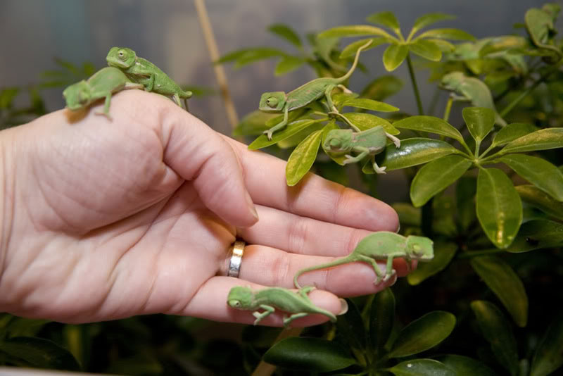 baby veiled chameleons on hand Picture of the Day: Adorable Baby Chameleons
