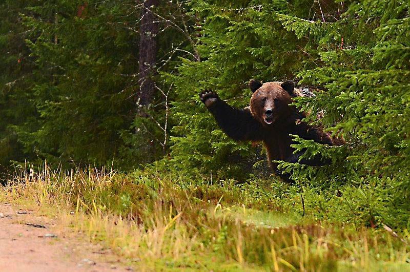 bear waving The Shirk Report   Volume 185