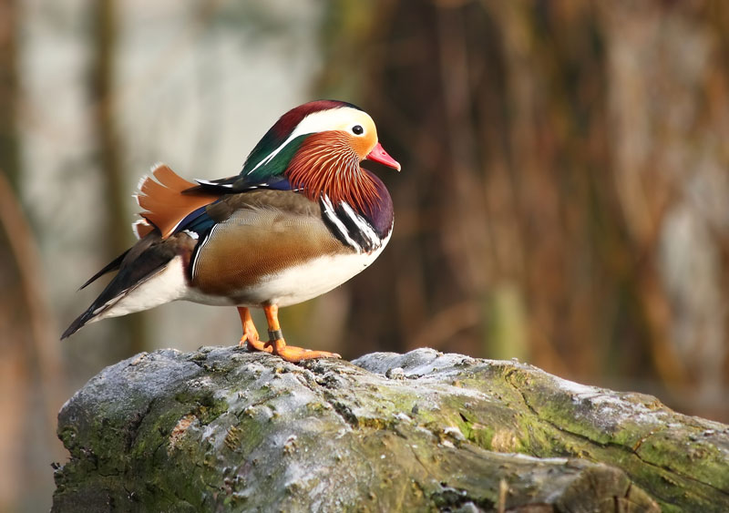 mandarin duck standing The Worlds Most Colorful Duck