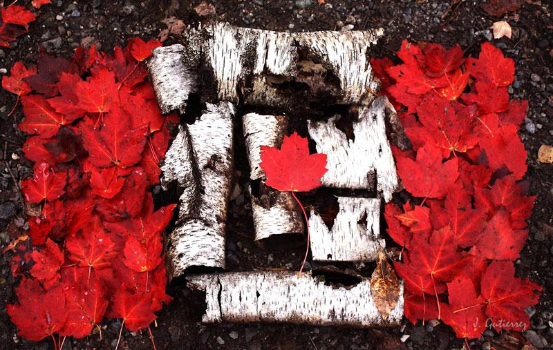nature canadian flag maple leaves birch bark Picture of the Day: The All Natural Canadian Flag