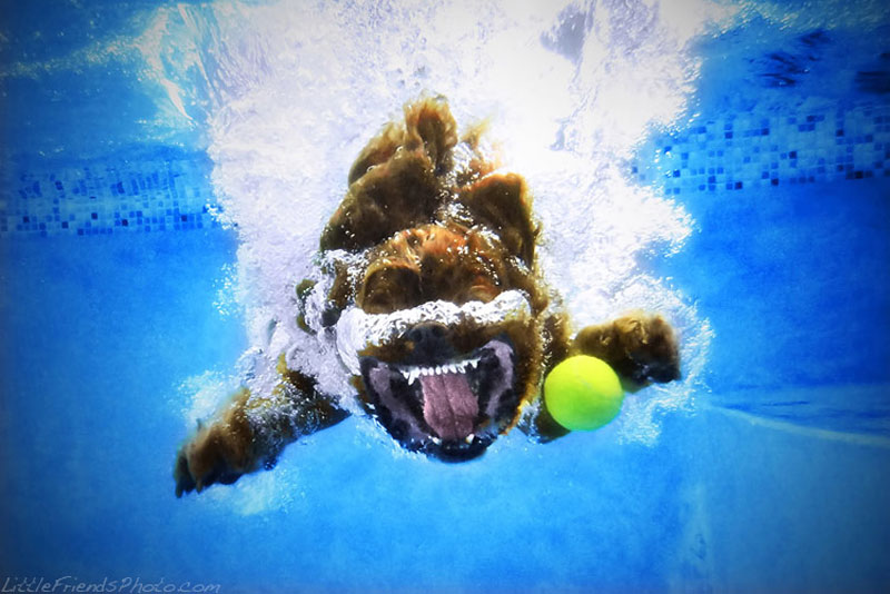 photo of dog underwater buster cavalierkingcharlesspaniel 6years 10 Hilarious Portraits of Dogs Underwater