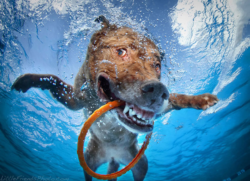 photo of dog underwater dagmar chesapeakebayretriever 10years 10 Hilarious Portraits of Dogs Underwater